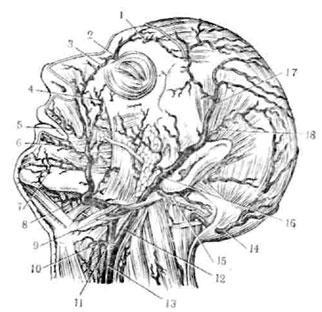 Артерии головы по рауберу