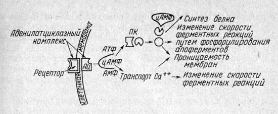 Система цАМФ ткани мышц