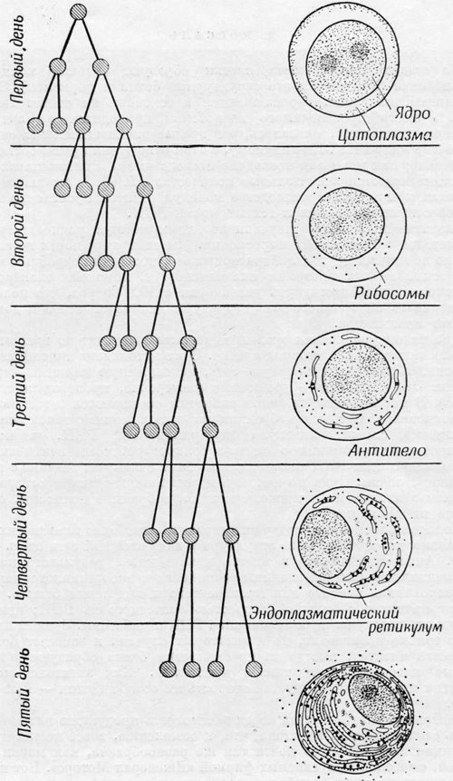 Радиоаутография