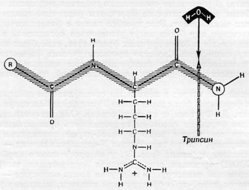 Результат действия эндопептидаз и экзопептидаз на белок