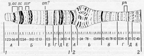 Окончание гигантской хромосомы из слюнной железы плодовой мушки