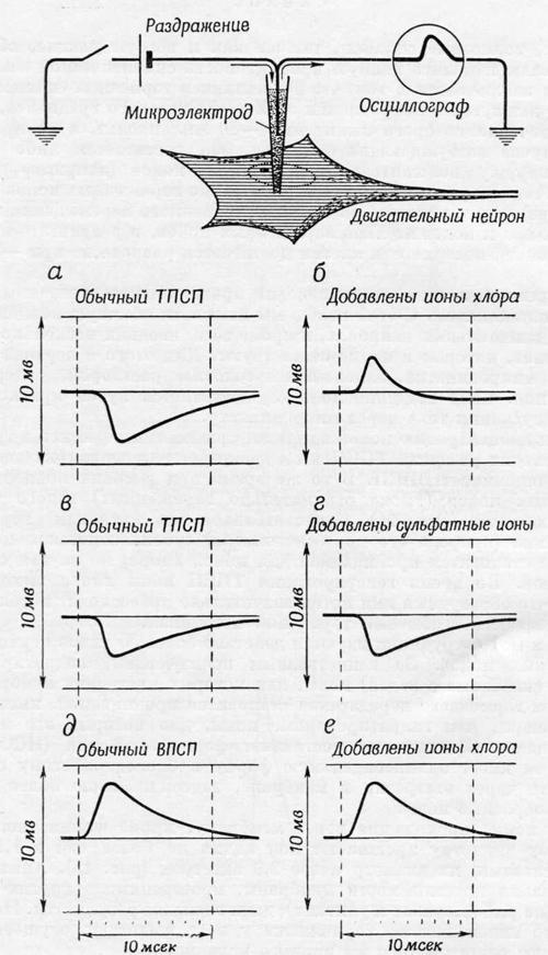 Способность синапсов изменять ионную проницаемость