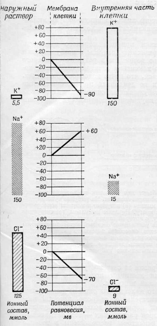 Разность во внутренней и наружной концентрации ионов калия