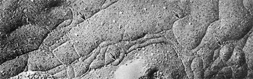 Замкнутая сеть контактных гребешков (указаны стрелками) на Р-поверхности скола цитолеммы эндотелиальных клеток кровеносного капилляра