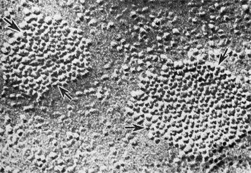 Коммуникационные контакты эндотелиальных клеток венулы