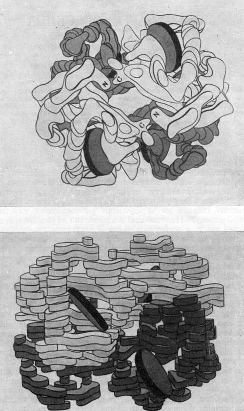 Трехмерная модель молекулы гемоглобина, разработанная на основании рентгеноструктурного анализа автором и его сотрудниками,— вид сверху (верхний рисунок) и сбоку (нижний рисунок)
