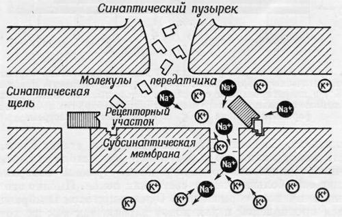 Возникновение проницаемости мембраны для ионов калия