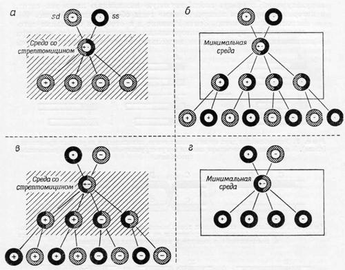 Расщепление и рекомбинация внехромосомных генов