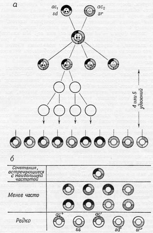 Скрещивание, в котором участвовали две пары мутантных внехромосомных генов и три пары несцепленных хромосомных генов