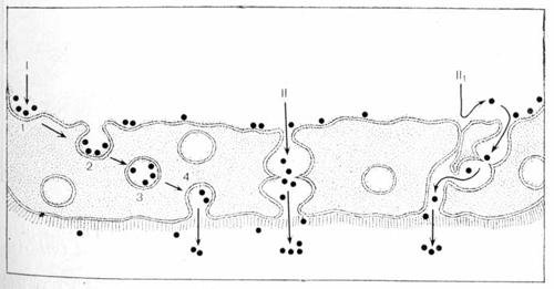 Схематическое изображение дисситивного и конвекционных путей транспорта макромолекул через эндотелий обменных микрососудов