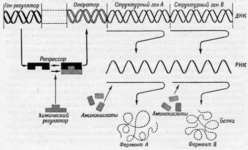 Модели основных механизмов клеточной адаптации ферментов