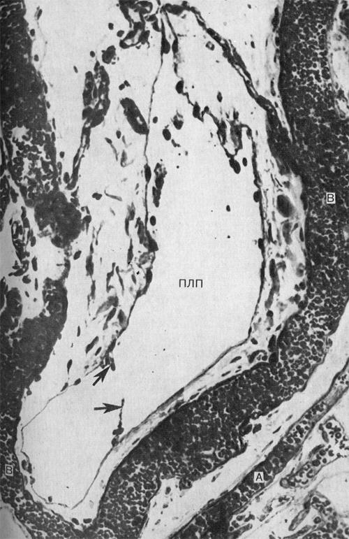Близость лимфатических капилляров и посткапилляров к путям венозного кровотока