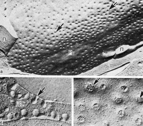 Устья плазмалеммальных везикул (указаны стрелками) на поверхности эндотелиальных клеток кровеносных капилляров