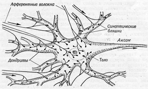 Изучение нервной клетки