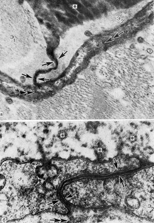 Транспорт пероксидазы хрена через межклеточные каналы эндотелия кровеносных микрососудов