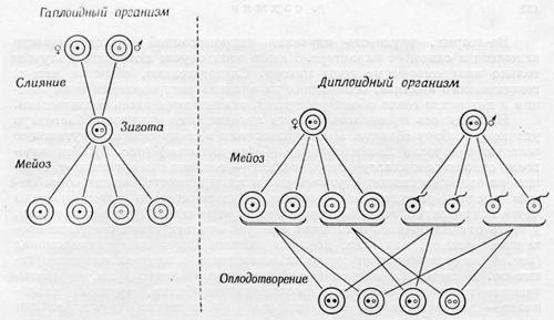 Упорядоченный характер хромосомной наследственности