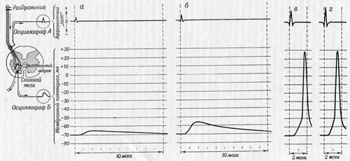 Опыт раздражения нерва содержащего толстые волокна, идущие от рецептора растяжения