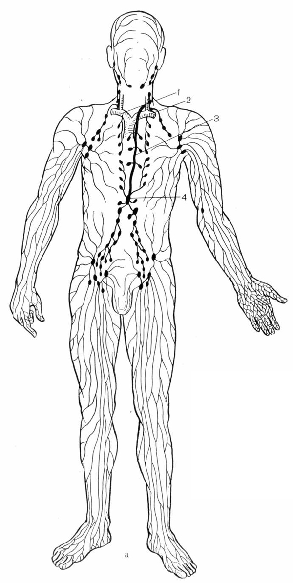 Строение лимфатической системы человека (а)