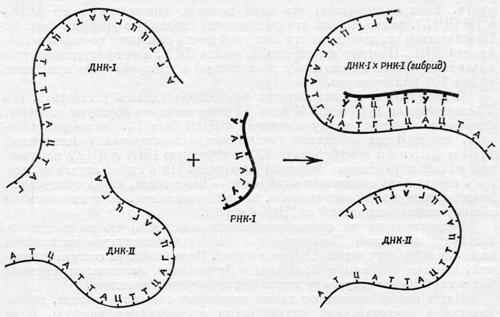 Результат эксперимента изучения РНК с помощью радиоактивных изотопов