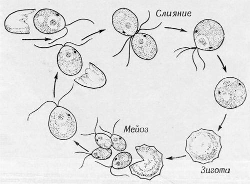 Митохондрии в клетке хламидомонады