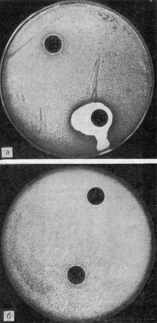 Явления антагонизма микробов на плотной среде (а, б)