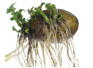 Соланин в картофеле
