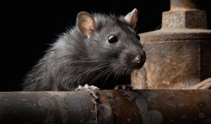 Обработка от мышей: куда обращаться?